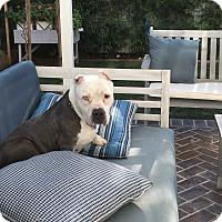 Adopt A Pet :: BOWIE - Los Angeles, CA