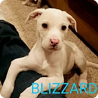 Adopt A Pet :: Blizzard - Garden City, MI