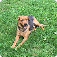 Shepherd (Unknown Type) Mix Dog for adoption in Louisville, Kentucky - Hoss