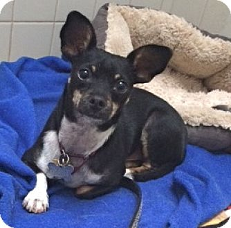 Miniature Pinscher/Dachshund Mix Dog for adoption in Burbank, California - ADOPTION PENDING-Dodger
