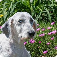Adopt A Pet :: Katie - Seneca, SC