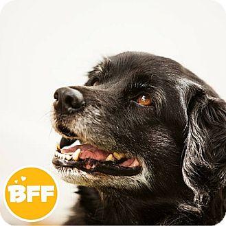 American Eskimo Dog/Cocker Spaniel Mix Dog for adoption in Edmonton, Alberta - Sam