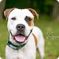 Adopt A Pet :: Stewie - Reisterstown, MD