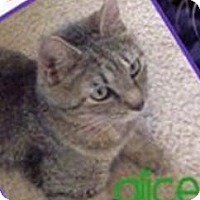 Domestic Shorthair Cat for adoption in Hinesville, Georgia - Alice