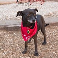Chihuahua Mix Dog for adoption in Scottsdale, Arizona - Tatum