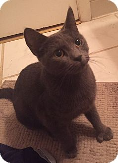 Russian Blue Cat for adoption in Livonia, Michigan - C9 Litter-Nala (Mom)-ADOPTION PENDING