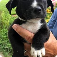 Adopt A Pet :: Neville - Danbury, CT