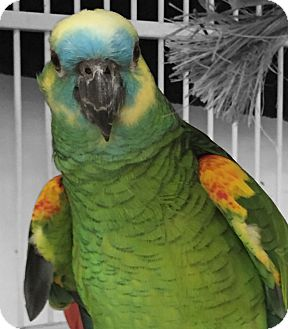 Amazon for adoption in Villa Park, Illinois - Big Bird