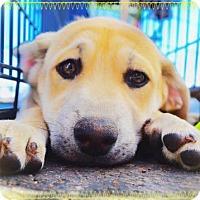 Adopt A Pet :: SHIRLEY - Chandler, AZ
