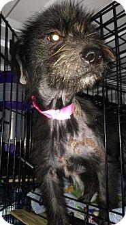 Schnauzer (Standard) Mix Dog for adoption in Mauston, Wisconsin - Lancelot