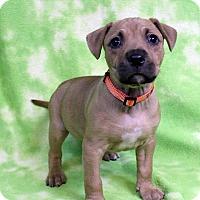 Adopt A Pet :: JEMMA - Westminster, CO