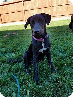 Labrador Retriever Mix Puppy for adoption in Broomfield, Colorado - Retta