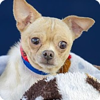 Chihuahua Mix Dog for adoption in Colorado Springs, Colorado - Oscar