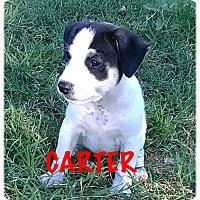 Adopt A Pet :: Carter - Tempe, AZ
