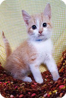 Domestic Shorthair Kitten for adoption in Prattville, Alabama - Jesse 25917