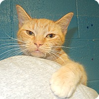 Domestic Shorthair Cat for adoption in Newport, North Carolina - Vicky