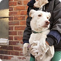 Shepherd (Unknown Type) Mix Dog for adoption in Brooklyn, New York - Belochka