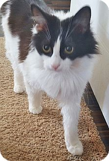 Domestic Longhair Cat for adoption in Georgetown, Delaware - Polly