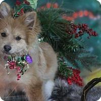 Adopt A Pet :: Svia - Dallas, TX