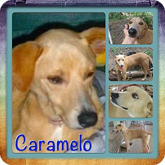 Hound (Unknown Type) Mix Dog for adoption in Toa Alta, Puerto Rico - Caramelo