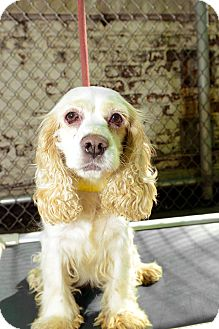 Cocker Spaniel Dog for adoption in New York, New York - Myra
