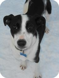 Collie/Labrador Retriever Mix Dog for adoption in Minneapolis, Minnesota - Buttons