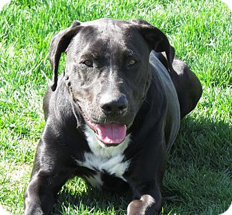 Labrador Retriever/Great Dane Mix Dog for adoption in Meridian, Idaho - Jackson