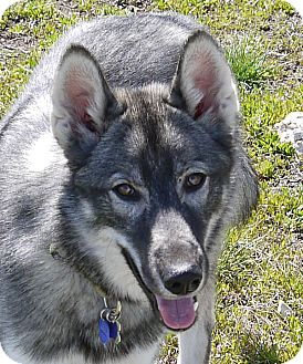 Alaskan Malamute/Norwegian Elkhound Mix Puppy for adoption in Boise, Idaho - BECK