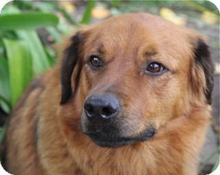 Golden Retriever Mix Dog for adoption in Norwalk, Connecticut - Emmit-@DogGoneSmart/Norwalk