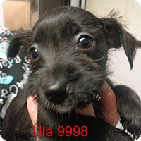 Adopt A Pet :: Ula - baltimore, MD
