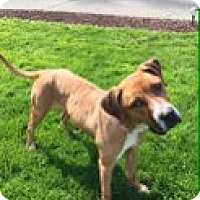 Adopt A Pet :: ZOEY (AUBURN) SMART ENERGETIC RUNNING COMPANION - Bainbridge Island, WA