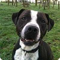 Adopt A Pet :: Bullet - Portland, OR