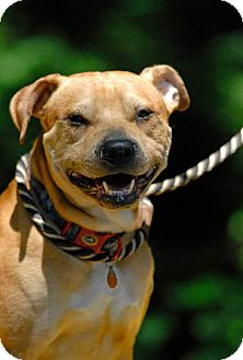 Shar Pei Mix Dog for adoption in Pottsville, Pennsylvania - Meeko