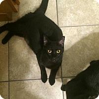 Adopt A Pet :: Baghera - Lyons, IL