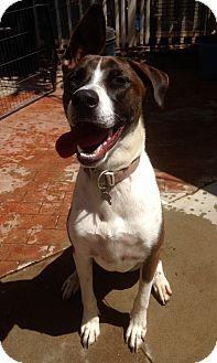 Labrador Retriever/Great Dane Mix Dog for adoption in Santa Ana, California - George (BH)