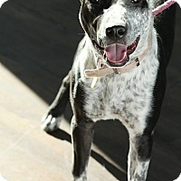 Australian Cattle Dog Mix Dog for adoption in Garland, Texas - Eliza