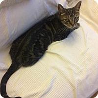 Domestic Shorthair Cat for adoption in New York, New York - Emma