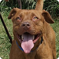 Pit Bull Terrier Mix Dog for adoption in Monroe, Michigan - Garcia