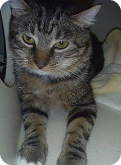 Domestic Shorthair Cat for adoption in Hamburg, New York - Tommy
