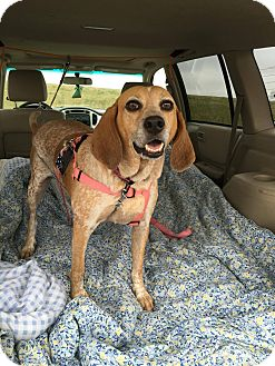 Redtick Coonhound/Beagle Mix Dog for adoption in Santa Rosa, California - Molly