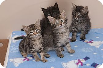 Maine Coon Kitten for adoption in Chicago, Illinois - Kittens