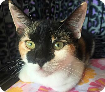 Calico Kitten for adoption in Burlington, North Carolina - GiGi
