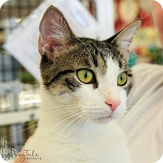 Domestic Shorthair Cat for adoption in Mobile, Alabama - Quincy