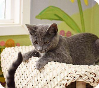 Domestic Shorthair Kitten for adoption in Dallas, Texas - Orlando