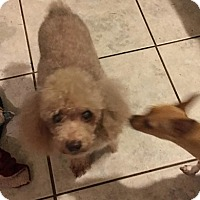Poodle (Toy or Tea Cup) Dog for adoption in Brooksville, Florida - Hershey