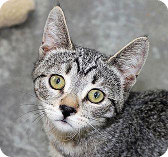 Domestic Shorthair Cat for adoption in Mountain Center, California - Bonita
