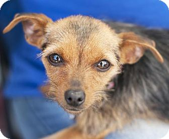 Yorkie, Yorkshire Terrier Mix Dog for adoption in San Diego, California - Libby