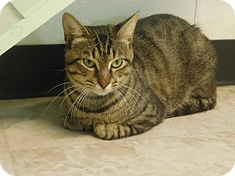 Domestic Shorthair Cat for adoption in Lake Panasoffkee, Florida - Archie