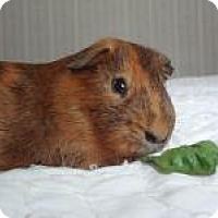 Adopt A Pet :: Mr. Pigglesworth - Pine Bush, NY