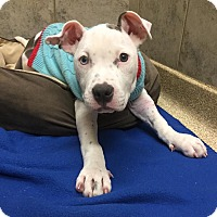 Pit Bull Terrier Mix Dog for adoption in Bristol, Connecticut - Frankie